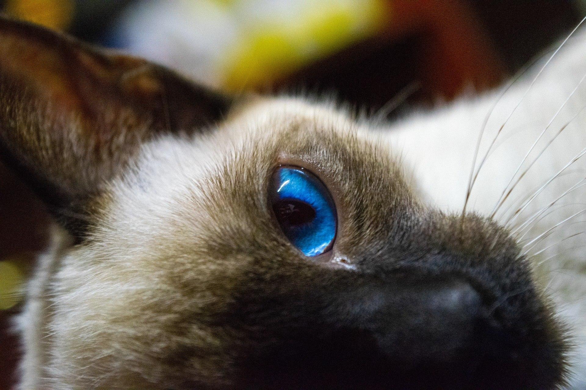 kot dla alergików, kot balijski, kotamy