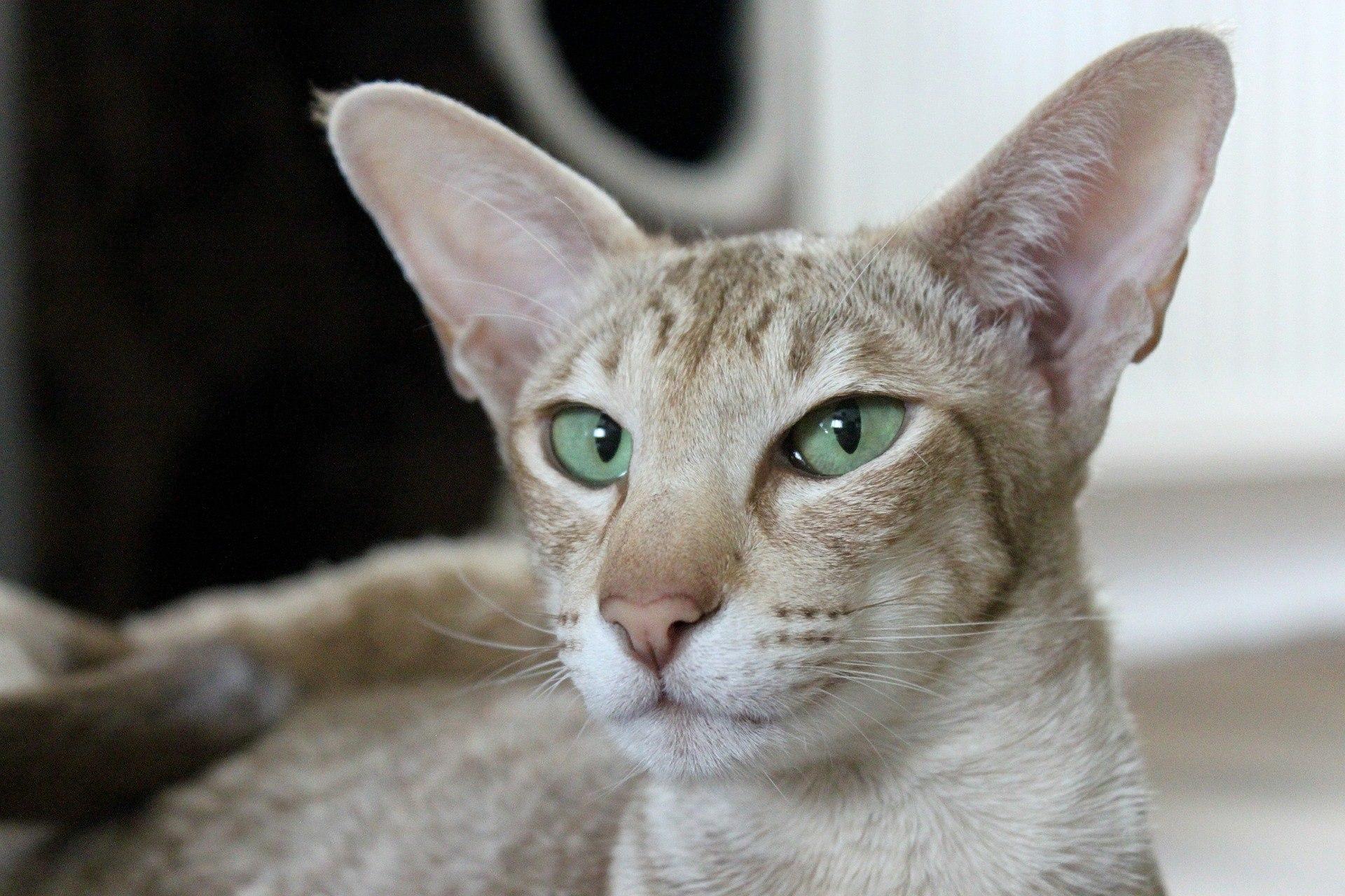 kot dla astmatyka, kot orientalny krótkowłosy, kotamy