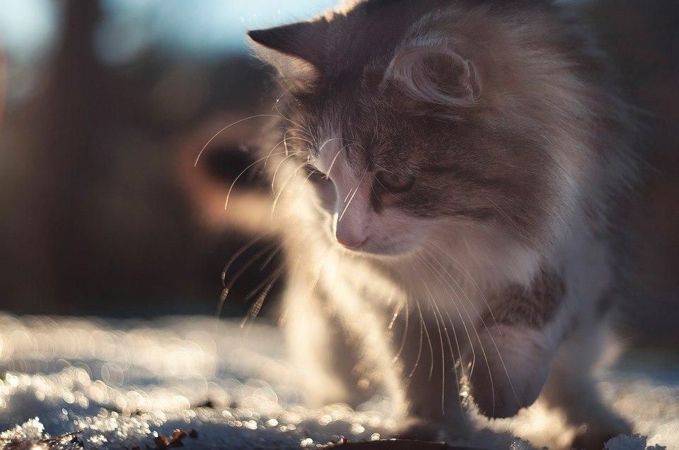 koty dla alergików, kot syberyjski, kotamy