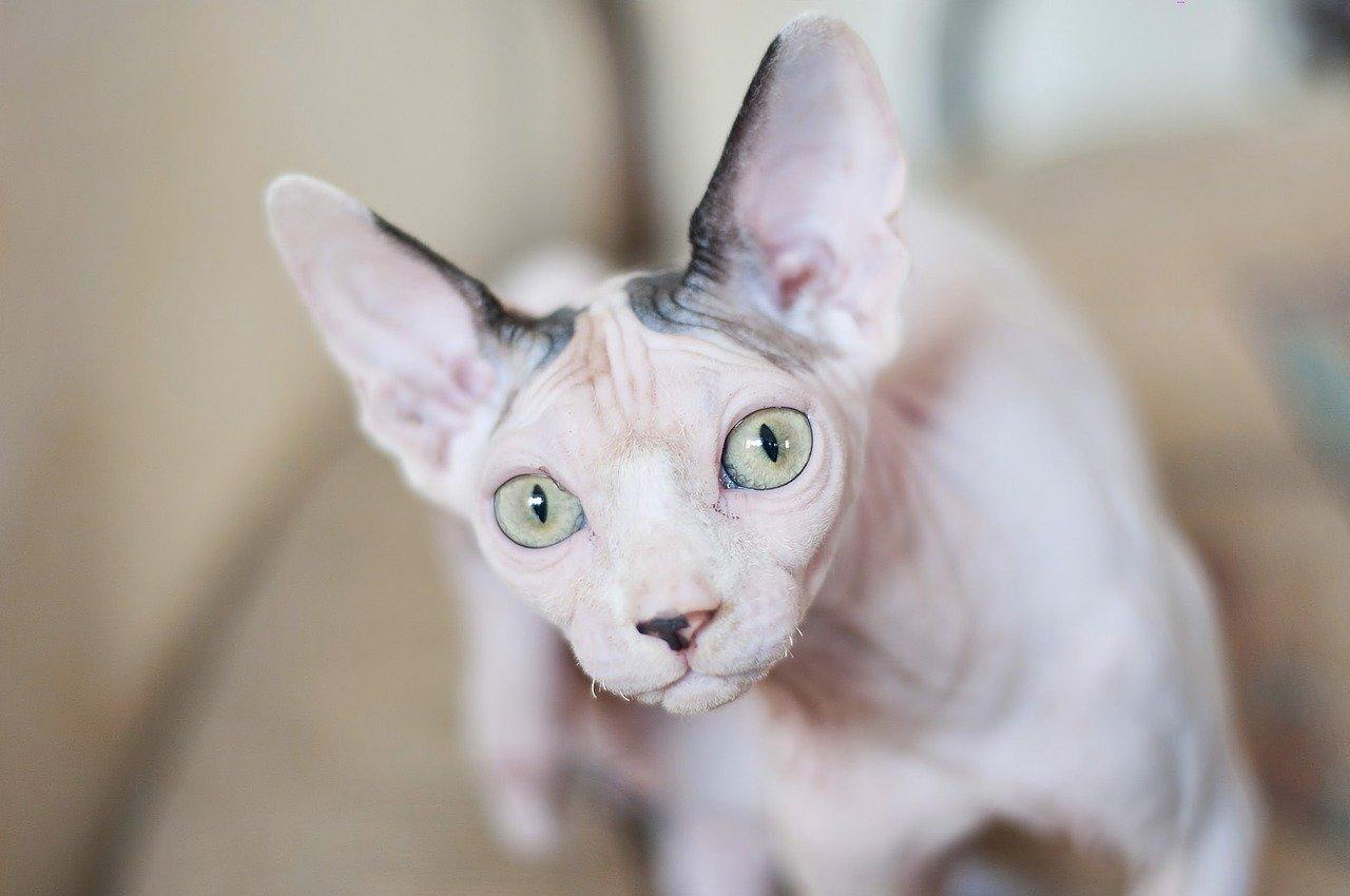 koty dla astmatyków, kot sfinks, kotamy