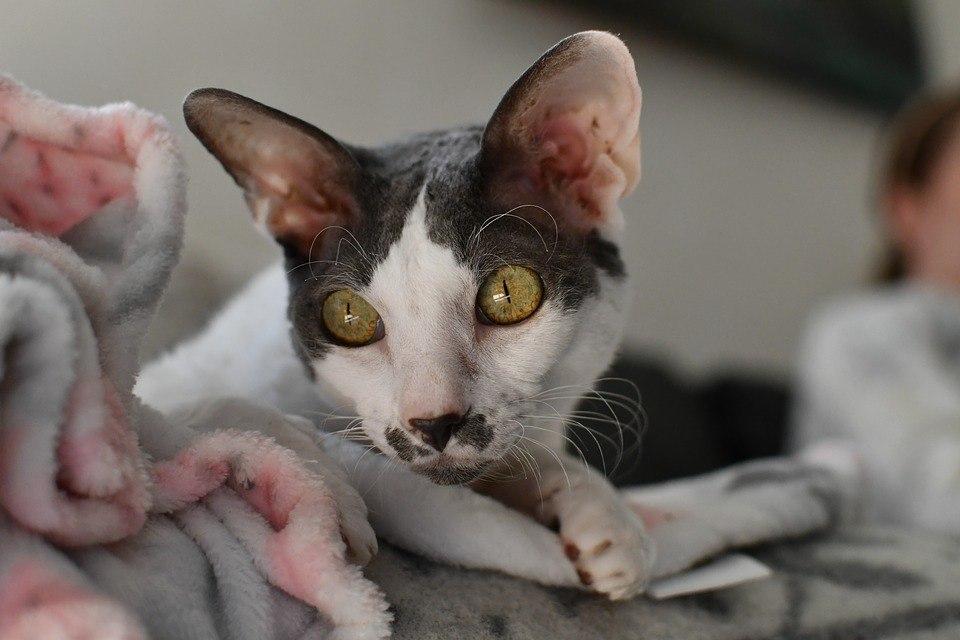 koty dla uczuleniowców, kot cornish rex, kotamy