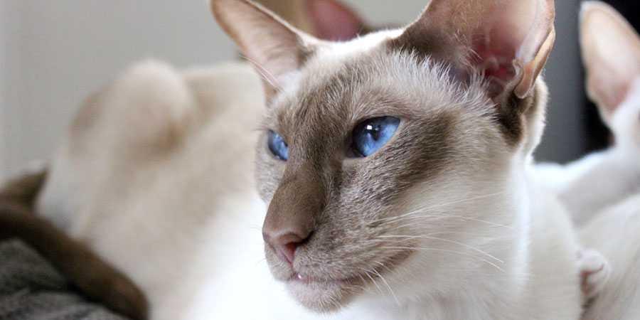 koty dla uczulonych, kot jawajski, kotamy