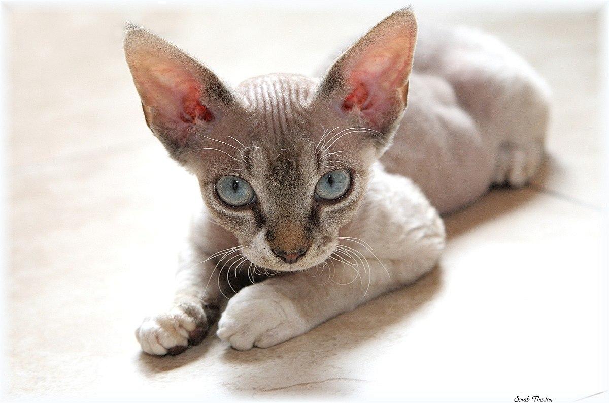 które koty najmniej uczulają, kot devon rex, kotamy